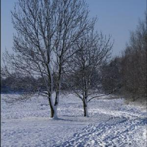 Trees in snow No.1BWS